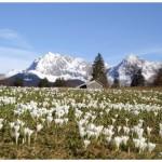 Die Krokuswiesen bei Gerold